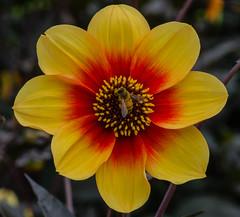Dahlia Sunshine with hoverfly (frankmh) Tags: plant flower dahlia dahliasunshine hoverfly insect sofiero sofierocastlegarden helsingborg skåne sweden macro bright