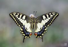 La Reina (JoseQ.) Tags: macro macrofotografia mariposa macaon reina campo retrato postal alas colores dehesa olympus
