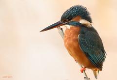 the perfect lady (jeff.white18) Tags: kingfisher bird feathers beak nature wildlife nikon langford wild portrait flickr