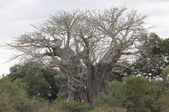 Adansonia digitata (Baobab) (Arthur Chapman) Tags: adansonia digitata adansoniadigitata baobab krugernationalpark mpumalanga southafrica taxonomy:kingdom=plantae taxonomy:phylum=magnoliophyta taxonomy:class=magnoliopsida taxonomy:order=malvales taxonomy:family=malvaceae taxonomy:genus=adansonia taxonomy:binomial=adansoniadigitata taxonomy:common=baobab geocode:accuracy=50meters geocode:method=gps geo:country=southafrica geo:region=africa satara