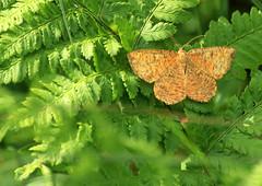 Angerona prunaria (Ramunė Vakarė) Tags: angeronaprunaria geometridae butterfly lepidoptera insect nature lithuania eičiai ramunėvakarė orangemoth forest