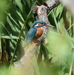Kingfisher (Lancs & Lakes Outback Adventure Wildlife Safaris) Tags: nikon d7200 tamron 600mm meresandswood lancashirewildlifetrust holmeswood rufford kingfisher blue orange