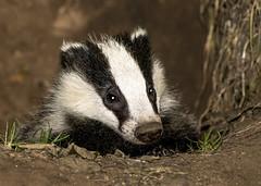 badger (colskiguitar) Tags: badger scottish sett cub mammal wildlife beastie beautiful bnw blackandwhite stripes