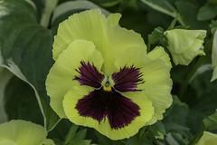 Pansy in Gnesta, Sweden (PriscillaBurcher) Tags: pansy viola×wittrockiana pensamiento trinitaria violaceae gnesta sweden l1610788