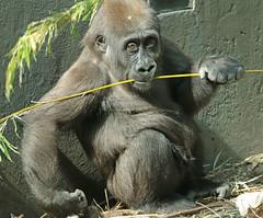 western lowlandgorilla Yanga artis JN6A4650 (j.a.kok) Tags: gorilla westelijkelaaglandgorilla westernlowlandgorilla lowlandgorilla laaglandgorilla animal artis africa afrika aap ape mammal monkey mensaap primate primaat zoogdier dier yanga