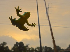 Frog on the Windshield (ricko) Tags: windshield frog rubber toy utilitypoles wires fakefrog 110365 2018