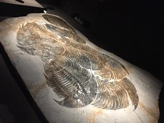 A Tribe of Trilobites (hinxlinx) Tags: trilobites fossil animal creature life trilobite chiang kaishek memorial hall natural history museum dikelokephalina brenchleyi cambrian