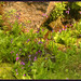 Wildflowers Mt Rainier