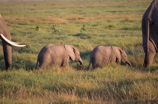 Rare 3 month old elephant twins, Amboseli National Park. First born in Kenya for 38 years