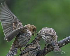 Chaos (craig goettsch) Tags: housefinch avian nature wildlife fledgling youngster backyard nikon d500