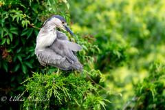 Black-Crowned Night Heron (mayekarulhas) Tags: oceancity newjersey unitedstates us black night heron wildlife bird avian canon canon1dxmark2 canon500mm