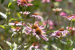 Echinacea (K2parn Photography) Tags: holderness newhampshire unitedstates us