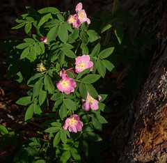 Wild Roses (San Francisco Gal) Tags: rose rosa flower fleur wildflower bloom blossom rockymountainnationalpark rmnp