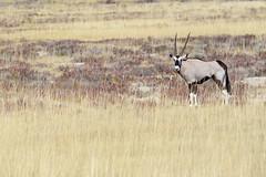 Lonely Orynx (setoboonhong) Tags: nature africa safari etosha national park namibia orynx grass landscape alone outdoor