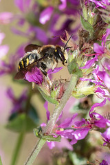 Anthidium septemspinosum (Sinkha63) Tags: faune insecta hyménoptères apocrites megachilidae anthidium leafcutterbee mégachilidés anthidie hymenoptera bee wildbee apocrita male mâle animal macro nature wildlife loosestrife lysimiaquerouge lythrum lythrumsalicaria purpleloosestrife salicaire corrèze france limousin nouvelleaquitaine beynat fra septemspinosum anthidiumseptemspinosum