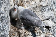 Kittiwake and chicks (Maria-H) Tags: england unitedkingdom gb kittiwake chick rissatridactyla innerfarne farneislands northumberland northumbria uk olympus omdem1markii panasonic 100400