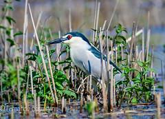 garzeta azul (barragan1941) Tags: heron garza aves birds animales animals rumania