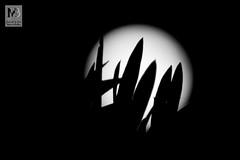 Luna de olivos (Juan de la Cruz Moreno Balboa) Tags: huerta nocturnas vistas úbeda blancoynegro luna olivo hojas contraluz