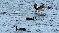 Black Swans feeding on the Bay (Merrillie) Tags: blackswans woywoy nature water birds newsouthwales animal nsw wild wildlife bird swans animals fauna centralcoast australia bay