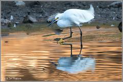 Snowy and Reflections 1129 (maguire33@verizon.net) Tags: egrettathula frankgbonelliregionalpark snowyegret bird egret wildlife sandimas california unitedstates us