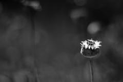 Simmering (belleshaw) Tags: blackandwhite ucrbotanicgarden nature garden flower bloom seeds cotton summer plant detail tall meadow texture crown bokeh abstract
