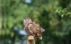 Owl - 5693 (ΨᗩSᗰIᘉᗴ HᗴᘉS +20 000 000 thx) Tags: tamron bird oiseau owl hensyasmine namur belgium europa aaa namuroise look photo friends be wow yasminehens interest intersting eu fr greatphotographers lanamuroise tellmeastory flickering