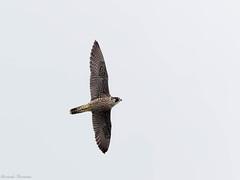 Falco pellegrino (riccardof55) Tags: sangiorgio