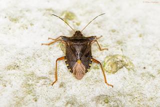 Forest Bug/Red-legged Shieldbug (Pentatoma rufipes)