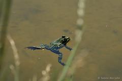 Badetag (Sockenhummel) Tags: botanischergarten botanischergartenberlin frosch frog teich lake wasser froschteich tier badetag fuji xt10
