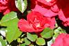 Maig_0170 (Joanbrebo) Tags: barcelona catalunya españa es park parque parc parccervantes garden jardí jardín flors flores flowers fiori fleur blumen blossom 17èconcursinternacionalderosesnovesdebarcelona rose rosa canoneos80d eosd efs18135mmf3556is autofocus