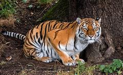 YWP: Amur Tiger (Tschuna) (Adrian.W) Tags: tiger amurtiger bigcat flickrbigcats predator feline endangered mammal wildlife ywp yorkshirewildlifepark yorkshire doncaster nikon d5500 70300mm