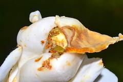 White Floral Decay (donjuanmon) Tags: donjuanmon nikon macro macromondays hmm flower decay white yellow brown petals anther stamen stigma