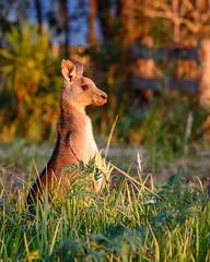 Sunset Joey (TonyinAus) Tags: kangaroo animal australia australianfauna wildlife