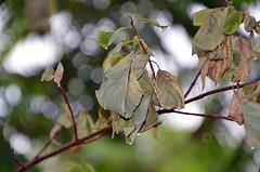 180809 asge 180809 © Théthi (thethi (pls, read my 1st comment, tks a lot)) Tags: jardin arbuste feuille cornouiller sécheresse eau pluie canicule climat bokeh namur wallonie belgique belgium