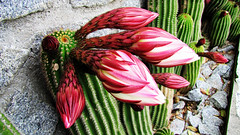 * Isola d'Elba : Cactus Giganti * (argia world 1) Tags: estate cactus isoladelba elbaisland fiori flowers argiagranuzzo