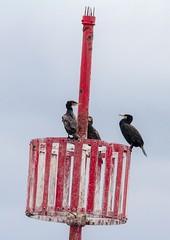 002 (dunraven48) Tags: birds northernireland sigma150500mm canon7d rspb wildlife