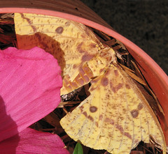 """Imperial Moth (Eacles imperialis) - 5-6"""" wild & live (Vicki's Nature) Tags: imperialmoth yellow giant live moth pink hibiscus spots july yard georgia vickisnature canon s5 7119 big large"""