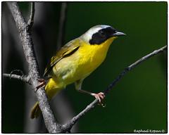 Yellowthroat (RKop) Tags: d500 nikkor600f4evr 14xtciii raphaelkopanphotography armlederpark cincinnati ohio warblers warbler wildlife