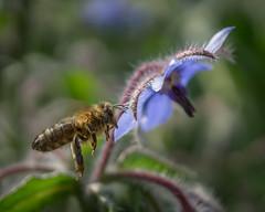 flight (rich lewis) Tags: macro macrophotography nature bee honeybee apismellifera richlewis