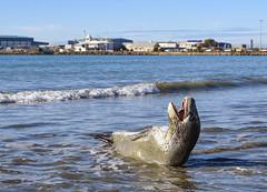 (M J Adamson) Tags: seal leopardseal mammals marinemammals nature wildlife carolinebay timaru southcanterbury nz newzealand beach