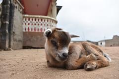 DSC_0032 (partnerschoolsworldwide) Tags: crofton pershie ghana africa animals goat lifestyle culture