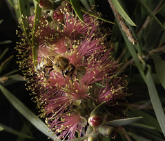 The Pollinator And The Callistemon Hybrid (Bill Gracey 20 Million Views) Tags: callistemonhybrid pollinator honeybee nature naturalbeauty naturephotography macrolens macrophotography lastoliteezbox softbox yongnuo yongnuorf603n depthoffield