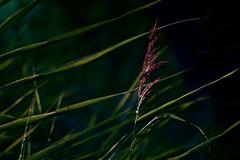 schleswig_DSC01626a (ghoermann) Tags: busdorf deu geo:lat=5449158196 geo:lon=953806815 geotagged germany schleswigholstein flower