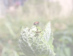 high key (fotomie2009) Tags: high key insect insecta cricket bush cavalletta lunghe corna antenne tettigoniidae orthoptera phaneropterinae nymph