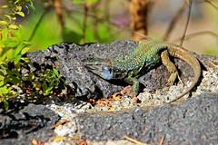 El Drago #11 (Gy:A ( attilafoto.hu )) Tags: tenerife eldrago dragontree photo attilafoto canarians canaryislands atlanticocean spring