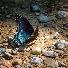 Blue to You (Portraying Life, LLC) Tags: dbg6 da3004 hd14tc k1mkii michigan pentax ricoh unitedstates butterfly closecrop handheld nativelighting roadside gravel salt