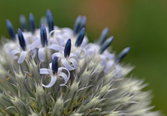 Echinops - Close-up (conall..) Tags: echinops globethistle closeup raynox dcr250 macro flower flowerhead asteraceae botanic park belfast southbelfast selectivefocus desenfoque outoffocus narrow dof selective focus