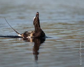Long-tailed Duck, mature drake