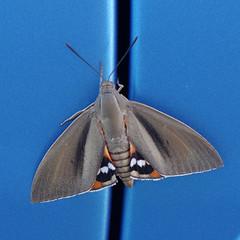 Bombyx du palmier (Paysandisia archon) (bernarddelefosse) Tags: bombyxdupalmier paysandisiaarchon papillon lépidoptère insecte animal