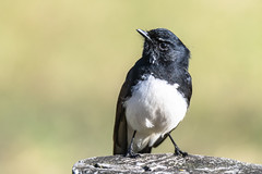 Willie Wagtail (Merrillie) Tags: tuggerahlakes nsw wetland williewagtail wildlife theentrance australia nature water birds estuary animals fauna centralcoast newsouthwales wagtail